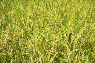 実る稲の写真素材 [FYI04808658]
