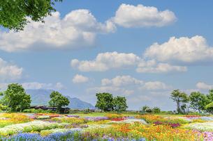 香る花の村 うららかな春の季節 美しい 可愛い 花の楽園風景(くじゅう花公園)の写真素材 [FYI04808732]