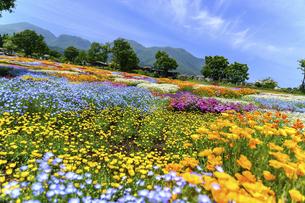 香る花の村 うららかな春の季節 美しい 可愛い 花の楽園風景(くじゅう花公園)の写真素材 [FYI04808737]