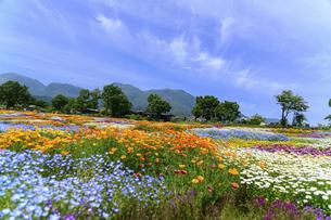 香る花の村 うららかな春の季節 美しい 可愛い 花の楽園風景(くじゅう花公園)の写真素材 [FYI04808738]