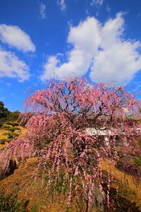 南立石公園のしだれ梅の写真素材 [FYI04809150]