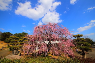 南立石公園のしだれ梅の写真素材 [FYI04809153]