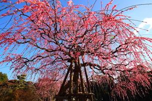 南立石公園のしだれ梅の写真素材 [FYI04809165]