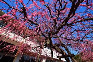 南立石公園のしだれ梅の写真素材 [FYI04809168]