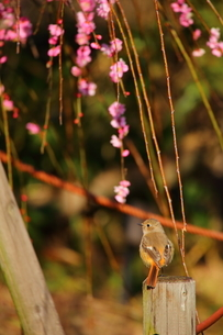 梅と小鳥の写真素材 [FYI04809173]