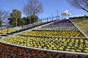 淡路,国営明石海峡公園,春一番の丘の花の写真素材 [FYI04809415]