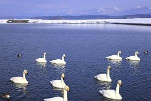 野々村ため池と白鳥の写真素材 [FYI04809519]