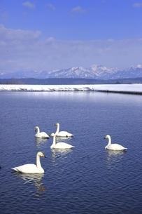 野々村ため池と白鳥の写真素材 [FYI04809520]