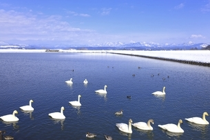 野々村ため池と白鳥の写真素材 [FYI04809521]