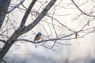 日本の冬の鳥、ジョウビタキの写真素材 [FYI04809679]