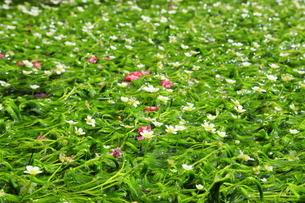 地蔵川の梅花藻 の写真素材 [FYI04809796]