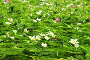 地蔵川の梅花藻 の写真素材 [FYI04809797]