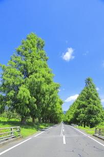 夏のメタセコイア並木の写真素材 [FYI04809799]