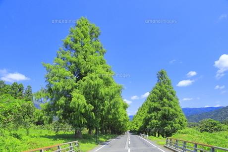 夏のメタセコイア並木の写真素材 [FYI04809801]