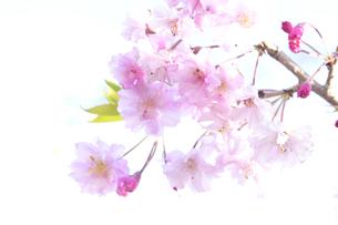 満開の八重サクラ(バラ科サクラ亜科サクラ属)の写真素材 [FYI04809828]