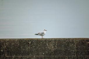 琵琶湖の防波堤にとまるユリカモメの写真素材 [FYI04809886]