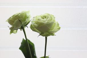 窓辺で撮影したクリーム色の薔薇の写真素材 [FYI04809887]