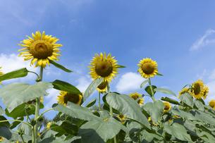 ヒマワリの花の写真素材 [FYI04809945]