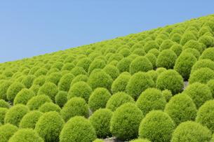 緑のコキアの写真素材 [FYI04809952]