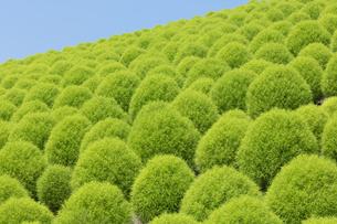 緑のコキアの写真素材 [FYI04809953]