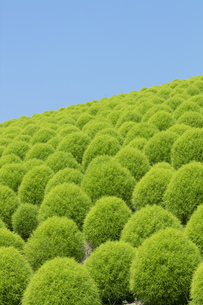 緑のコキアの写真素材 [FYI04809954]