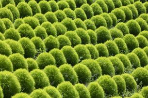 緑のコキアの写真素材 [FYI04809960]