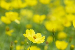 キバナコスモスの花の写真素材 [FYI04809970]