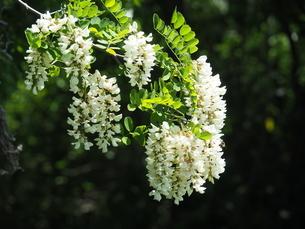 ニセアカシアの花の写真素材 [FYI04809972]