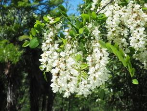 ニセアカシアの花の写真素材 [FYI04809973]