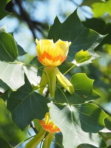 ユリノキの花の写真素材 [FYI04809976]