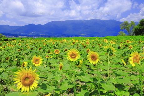 夏の守山市の第一なぎさ公園のひまわりの写真素材 [FYI04810863]