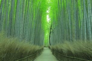 夏の嵯峨の竹林の写真素材 [FYI04810872]