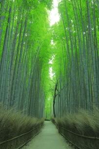 夏の嵯峨の竹林の写真素材 [FYI04810873]