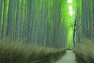 夏の嵯峨の竹林の写真素材 [FYI04810874]