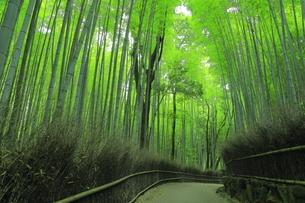 夏の嵯峨の竹林の写真素材 [FYI04810881]