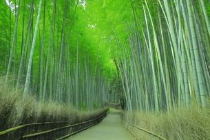 夏の嵯峨の竹林の写真素材 [FYI04810882]