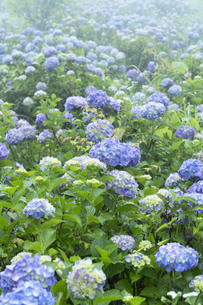アジサイの花の写真素材 [FYI04810957]