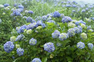 アジサイの花の写真素材 [FYI04810958]