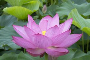 ハスの花の写真素材 [FYI04810959]