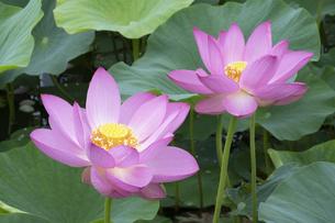 ハスの花の写真素材 [FYI04810960]