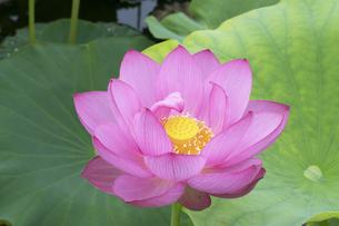 ハスの花の写真素材 [FYI04810961]