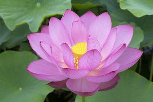 ハスの花の写真素材 [FYI04810962]