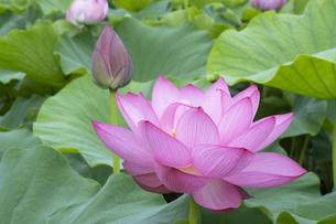 ハスの花の写真素材 [FYI04810963]