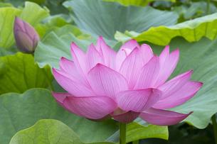 ハスの花の写真素材 [FYI04810964]