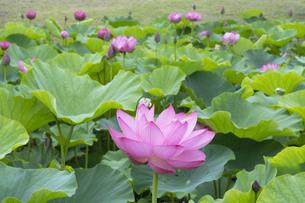 ハスの花の写真素材 [FYI04810965]