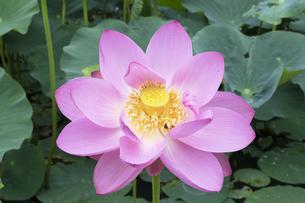 ハスの花の写真素材 [FYI04810968]