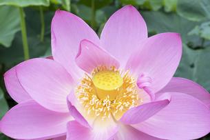 ハスの花の写真素材 [FYI04810969]
