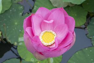 ハスの花の写真素材 [FYI04810970]