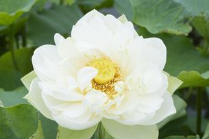ハスの花の写真素材 [FYI04810972]