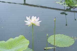 ハスの花とトンボの写真素材 [FYI04810982]